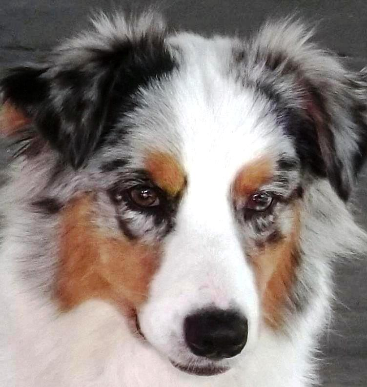 Circle C Australian Shepherds Timberwood Aust...